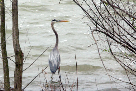 heron along the shore