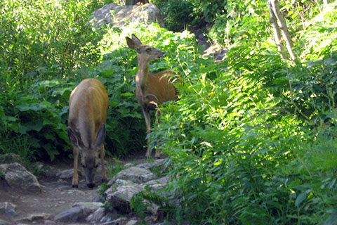 Deer on the Jenny Lake Trail