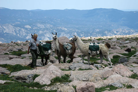 llamas carrying supplies to the privies