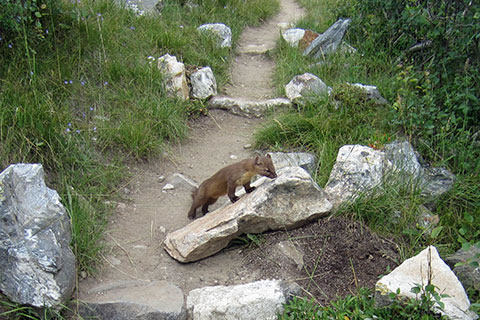 A Marten on a rock on the String Lake Loop Trail.