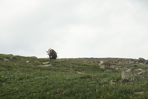 elk above the trail in the alpine tundra