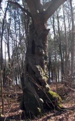 old twisted tree